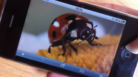 Ladybird photographed on smart phone (ladybird image shown by Ingo Arndt / NPL)