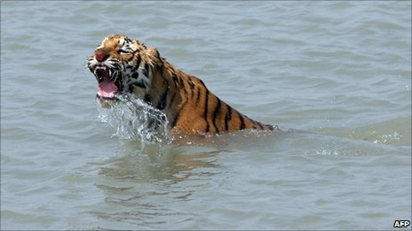 Tiger in the Sundarbans