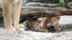 Two lion cubs keep an eye on their mother at the Hagenbeck zoo in the northern German city of Hamburg.
