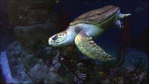 Snorkel the loggerhead turtle at the National Marine Aquarium in Plymouth