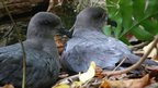 Petrels nesting on the ground on Henderson Island (Image: Richard Cuthbert)