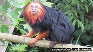 Santo, golden headed lion tamarin