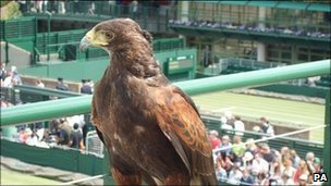 Rufus the American Harris Hawk