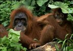 Orangutan and baby (Image: Anup Shah/NPL)