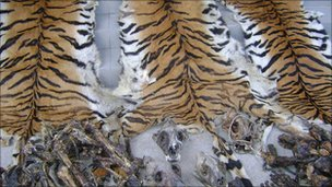 Skins of poached tigers
