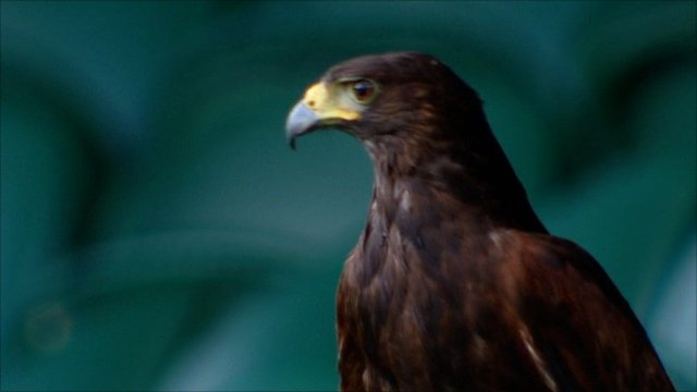 An American Harris Hawk