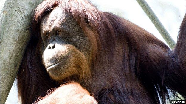 Orangutan (Image: Richard Sonnen)
