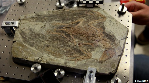 The 120 million year old fossil of Confuciusornis sanctus, the earliest beaked bird (Image: Phil Manning)