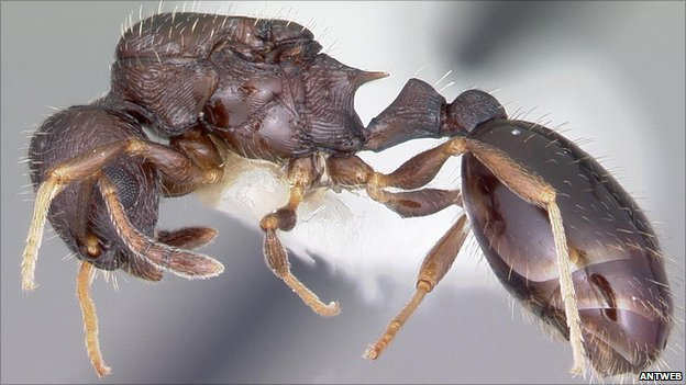 Specimen of the ant species Temnothorax longispinosus (Image: Antweb)