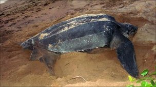 Sea turtle on Hattes beach at Awla-Yalimapo in the French overseas department of Guiana