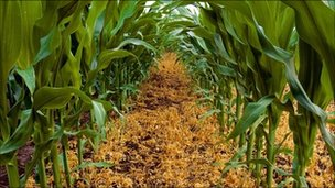 GM crops at a farm in Iowa, USA (archive shot)