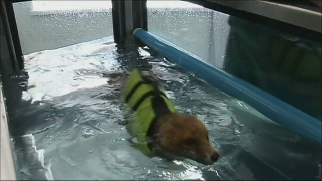 Basil the fox swimming in a hydrotherapy pool