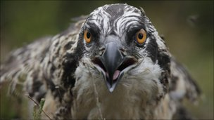 Osprey chick from 2010