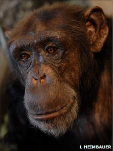 Panzee the chimpanzee (image: L Heimbauer)