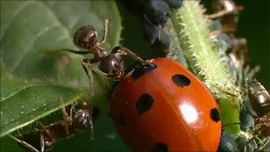 Ants see off a ladybird as it tries to eat aphids