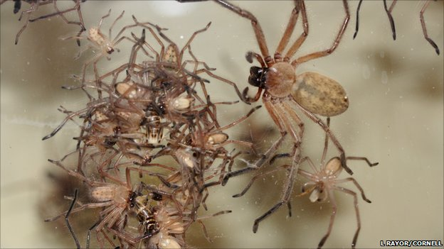 A group of social huntsman spiders attacking an insect (Image: L Rayor, Cornell University)