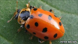 13-spot ladybird (photo courtesy Peter Brown via Centre for Ecology & Hydrology)