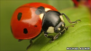 7-spot ladybird on grass (Michael Kilner photo via Centre for Ecology & Hydrology)