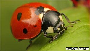 7-spot ladybird on grass (Michael Kilner photo via Centre for Ecology & Hydrology)