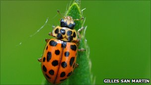 Water ladybird with summer colouration (Gilles San Martin photo via