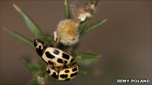Two 14-spot ladybirds mating (photo via Centre for Ecology & Hydrology)
