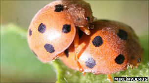 Bryony ladybirds mating (Mike Majerus photo via Centre for Ecology & Hydrology)