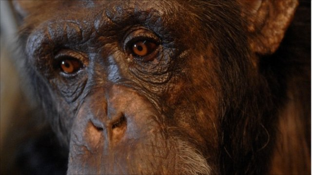 Panzee the chimpanzee (image: L Heimbauer)