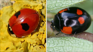 Two-spot ladybirds (photo via Centre for Ecology & Hydrology)