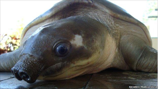 Pig-nosed turtle (image: Ricardo França Silva)