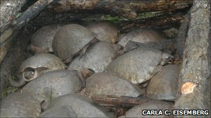 Twenty three females caught in one night while nesting in a coastal island of Kikori