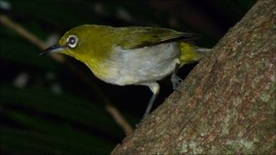Japanese white eye (c) Shinichiro Wada