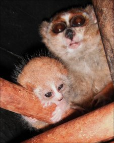 Pygmy slow loris, mother and child
