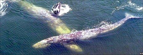 Gray whales, AP
