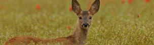 roe deer in grass