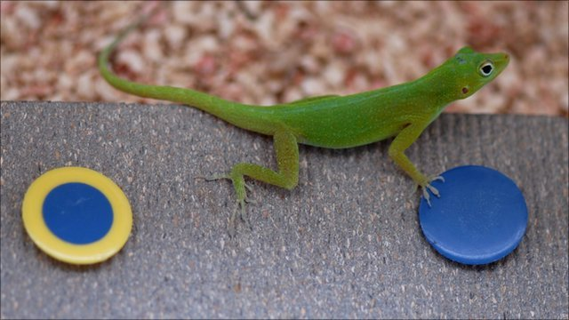 The lizard species Anolis evermanni during a colour discrimination task, the results of which are published in the Royal Society journal Biology Letters (Image: Manuel Leal)