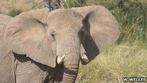 African elephant in Kenya (c) Whit Welles