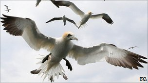 Gannets (generic)