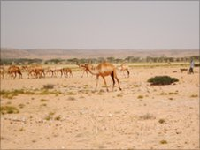 Camels in Karkar region