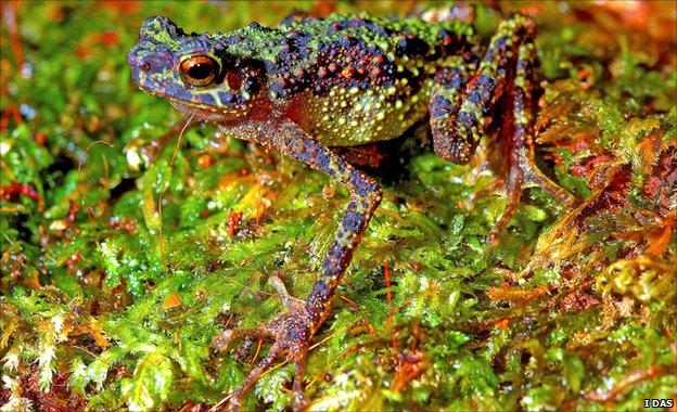 Long-legged Borneo rainbow toad (Image: Indraneil Das)