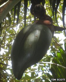 Female coco-de-mer trees bear the largest seed in the plant kingdom