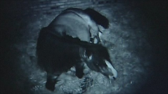 Webcam birth of foal