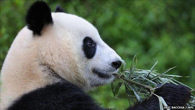 Giant panda (image: Eric Baccega / NPL)