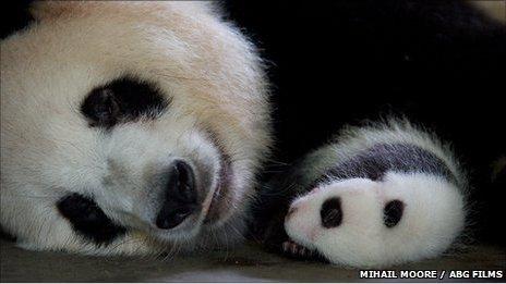 Panda mother and cub asleep (c) Mihail Moore / AGB Films