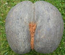 Coco-de-mer coconut