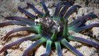 Sea anemone attempts to eat a nudibranch (c) B Reijnen