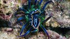 A Phyllidia ocellata sea slug caught in an anemone's tentacles (c) B Reijnen