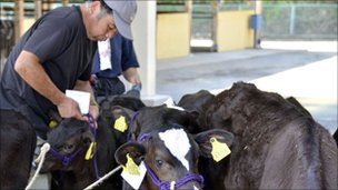 Calves are prepared in Motomiya, Fukushima prefecture, 50 kms west of the stricken Fukushima Daiichi nuclear power plant 