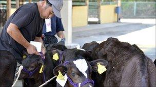 Calves are prepared in Motomiya, Fukushima prefecture, 50 kms west of the stricken Fukushima Daiichi nuclear power plant