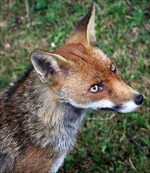 Urban fox (Image: BBC)