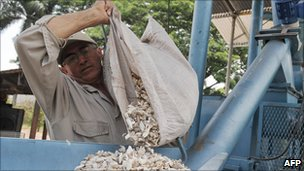 Cassava harvested for biofuel in Palmira, Colombia - file pic